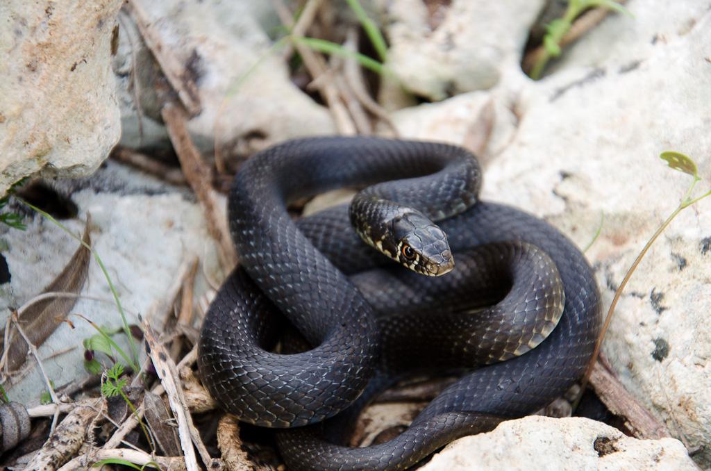 Serpenti salentini for Serpente nero italiano